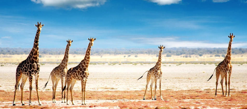 Намибия, стадо жирафов