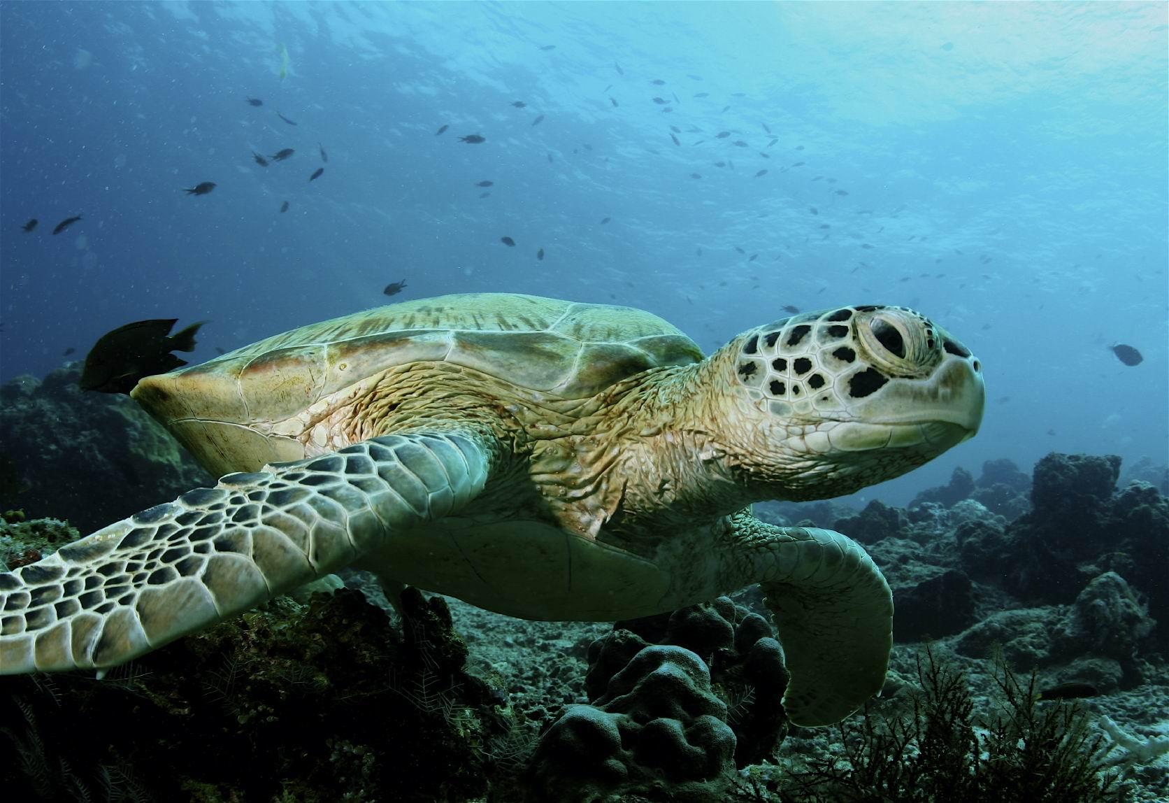 Острова Зеленого Мыса, черепаха