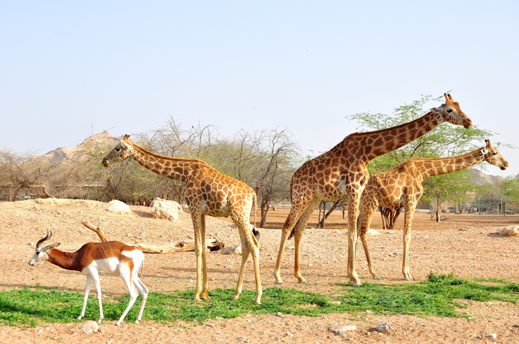 Giraffes in UAE zoo.